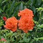 Roses in Burwell Community Garden